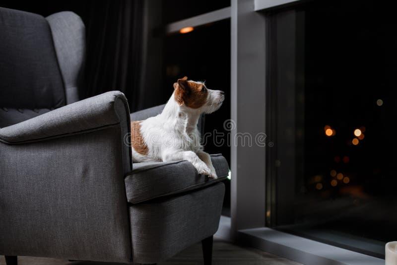 尾随品种杰克罗素狗在演播室颜色背景的画象狗 免版税库存照片