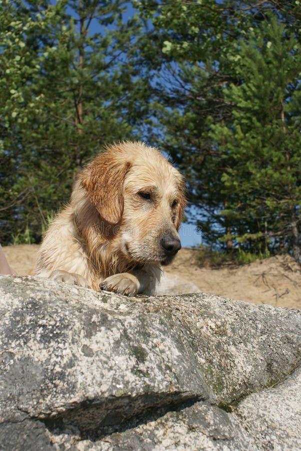 尾随品种金毛猎犬,湿在沐浴,在一个大岩石的谎言以后 库存图片
