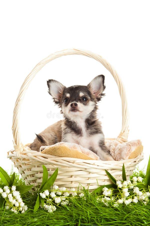尾随在篮子的白色背景隔绝的奇瓦瓦狗在绿草 图库摄影