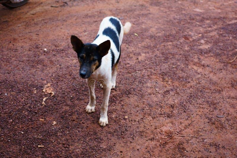 尾随它在stree的面孔,白色狗,摄影画象泰国狗 免版税库存图片