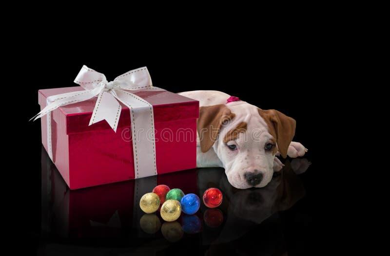 尾随小狗与红色giftbox的美国斯塔福德郡狗和在黑背景的五颜六色的糖果 库存图片