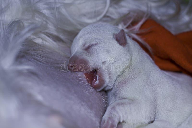 尾随小狗看护-二天年纪西方高地空白狗 免版税库存照片