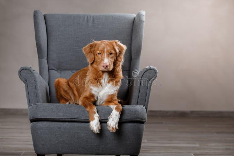 尾随新斯科舍鸭子敲的猎犬,在演播室颜色背景的画象狗 免版税库存照片