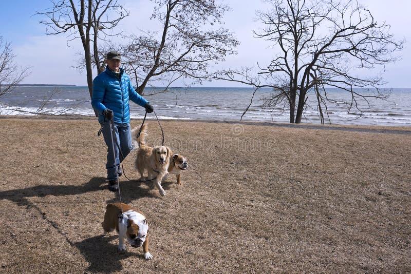 尾随有公牛狗和猎犬的步行者 库存图片