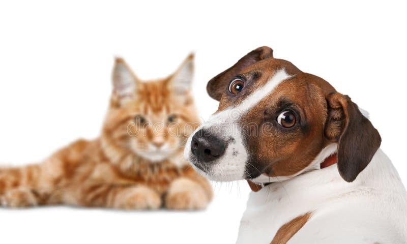 尾随杰克罗素狗和猫在白色 免版税库存照片