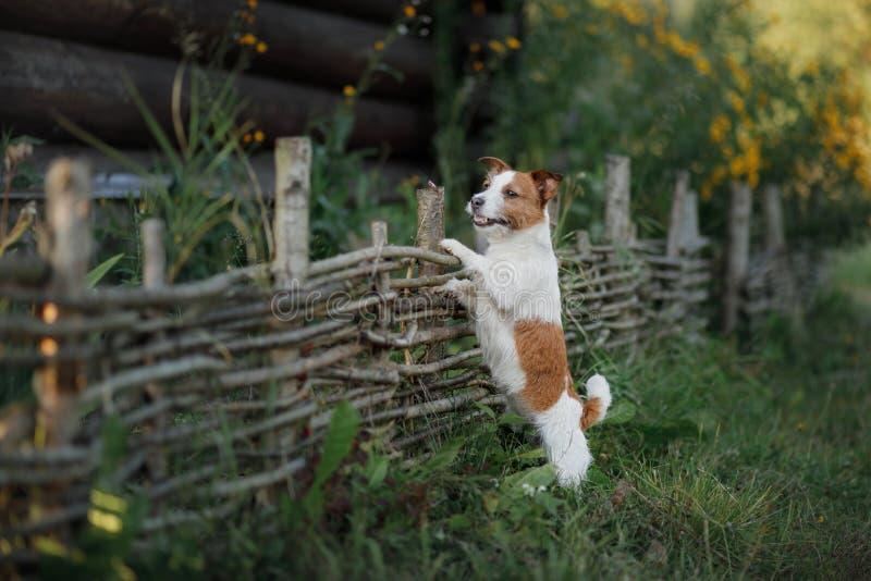 尾随杰克罗素狗在木篱芭在庭院里 库存图片