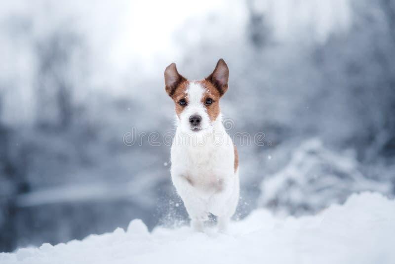 尾随杰克罗素狗的画象在自然的在冬天雪 库存图片