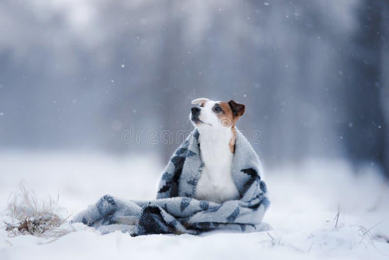 尾随杰克罗素狗,跑的狗户外 免版税图库摄影