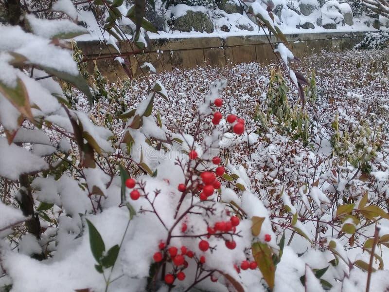 尾随玫瑰丛用用雪盖的红色莓果 免版税库存图片