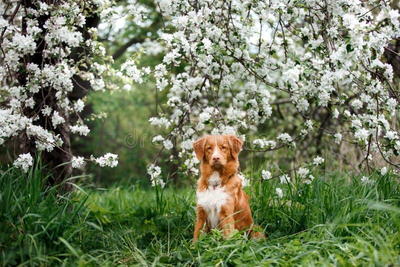 尾随走在夏天公园的新斯科舍鸭子敲的猎犬 库存图片
