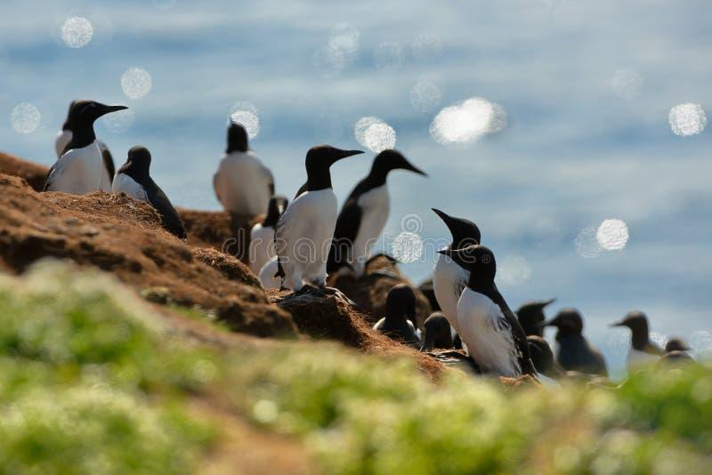尿aalge -海雀科的鸟-殖民地在Hornoya,挪威 库存照片