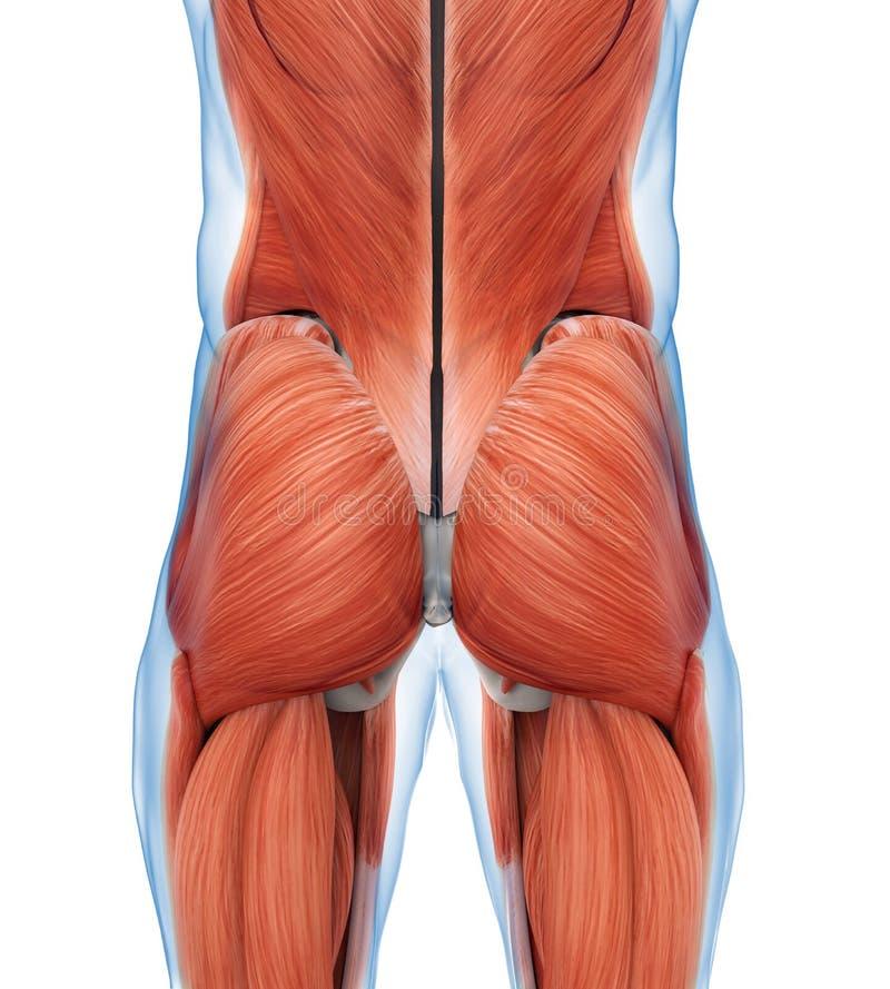 屁股干涉解剖学 皇族释放例证