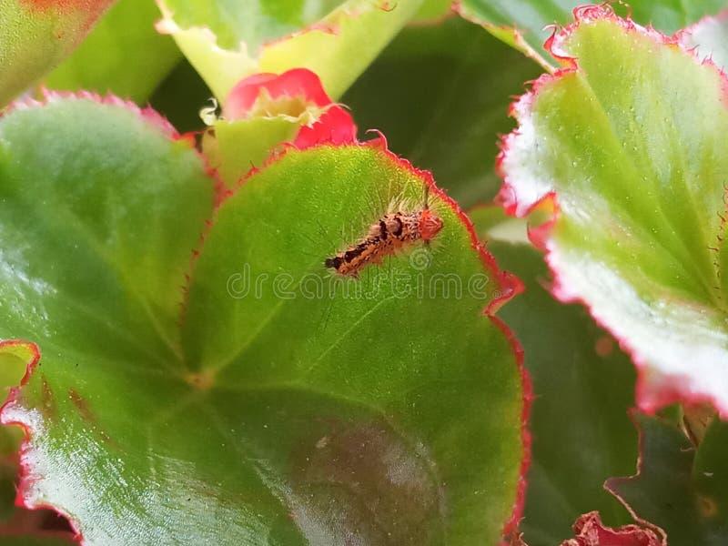 居住在秋海棠植物的毛虫 库存图片