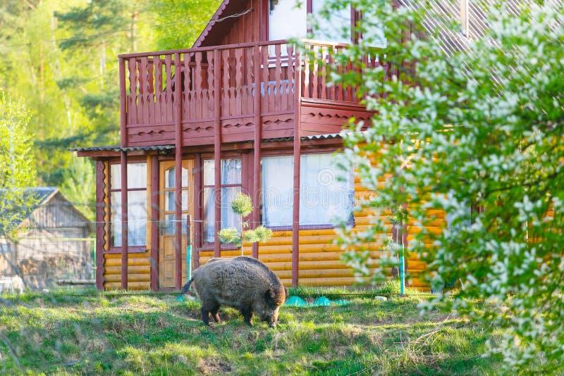 居住接近村庄的野公猪 免版税库存照片