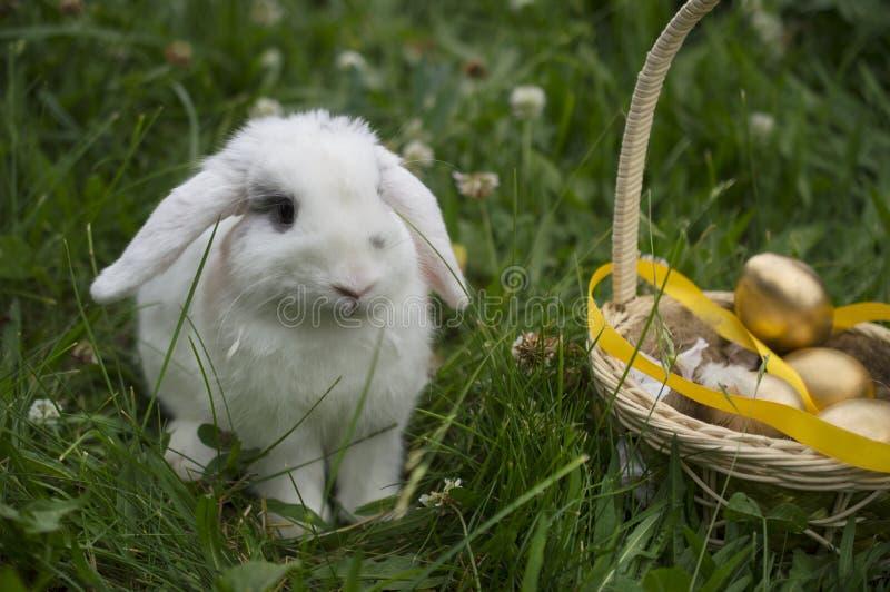 居住的复活节兔子用在一个篮子的金黄鸡蛋在一个草甸在春天 免版税库存图片