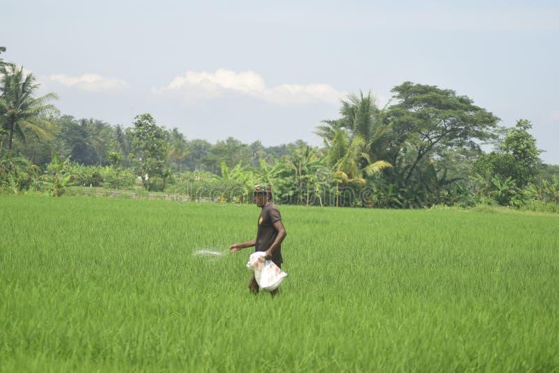 居民狩猎蜥蜴给从BULOG的肥料用途津贴 库存照片