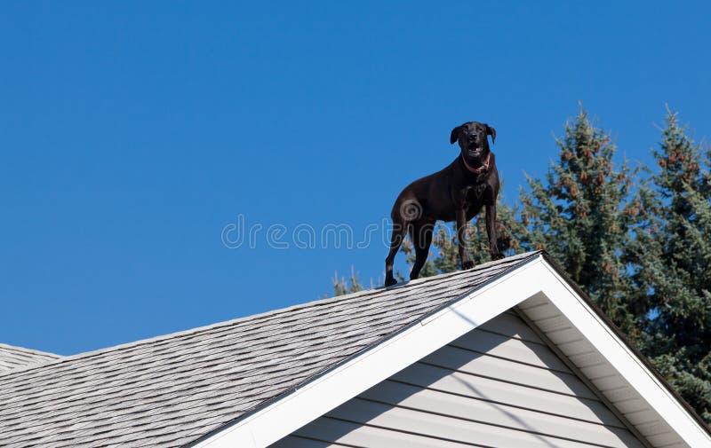 屋顶的黑色实验室 免版税库存图片