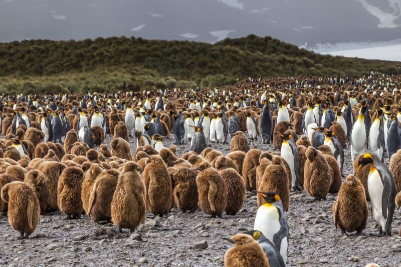麻屑絮男孩和企鹅国王在萨利平原的巨大的群在南乔治亚 库存照片