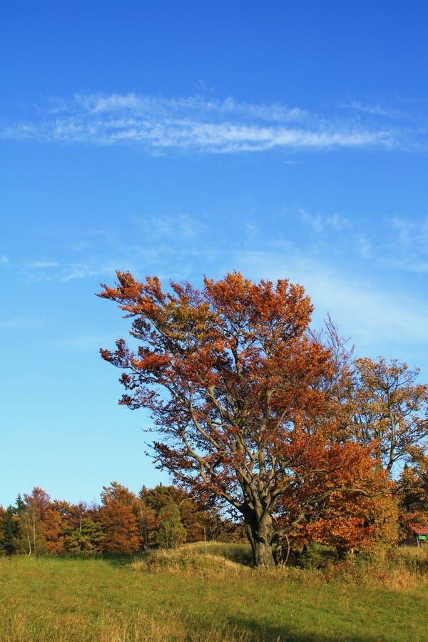 展望期橡木老结构树 库存图片