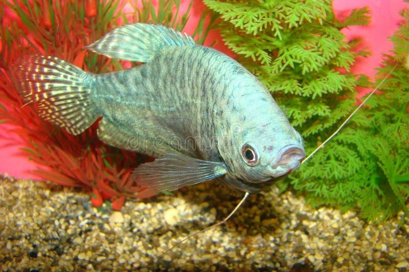 属宝瓶座者鱼trichogaster trichopterus 免版税库存照片