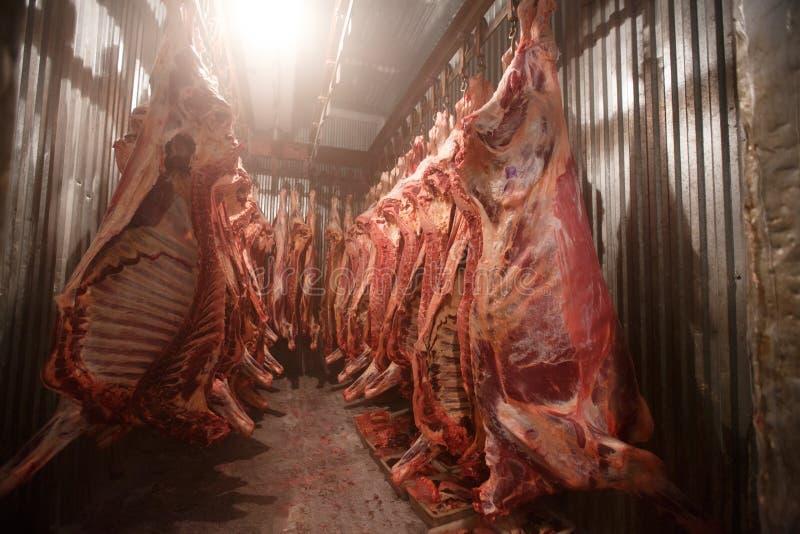 屠宰场母牛,垂悬在冷的一半的勾子母牛 免版税库存图片