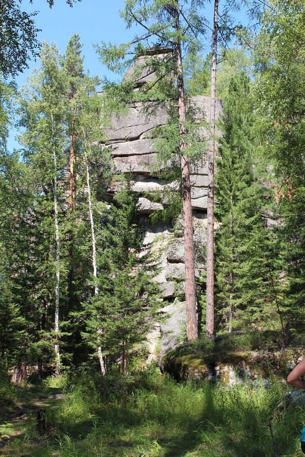 山'骑士' 西伯利亚森林taiga 台面呢 桦树林木根 免版税图库摄影