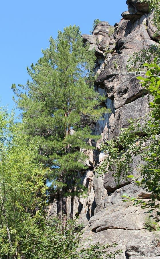 山'骑士' 西伯利亚森林taiga 台面呢 桦树林木根 库存照片