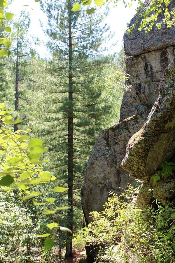 山'骑士' 西伯利亚森林taiga 台面呢 桦树林木根 图库摄影