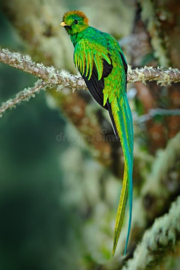 从山云彩森林灿烂的格查尔, Pharomachrus mocinno,与非常lo的壮观的神圣的绿色鸟的罕见的热带海鸟 免版税图库摄影