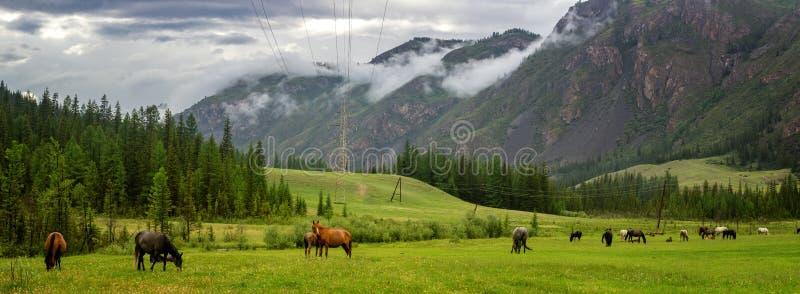 山全景在有马牧群的阿尔泰在谷,俄罗斯的, 库存照片