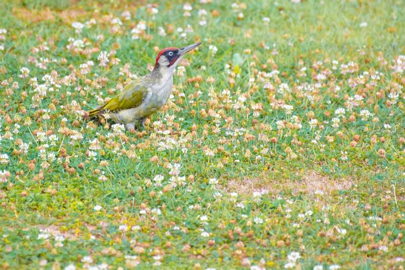 山啄木,皮库斯Vinidis,啄木鸟鸟坐草甸 库存图片