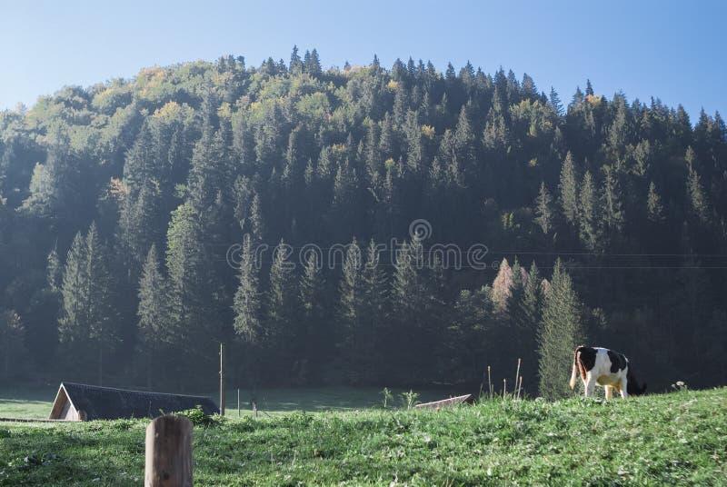 山在与云彩和具球果森林母牛的一好日子在土地 库存照片