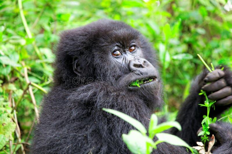 山地大猩猩在卢旺达的火山国家公园 免版税库存图片