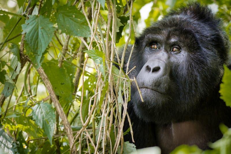 山地大猩猩在密林掩藏后边 免版税库存照片