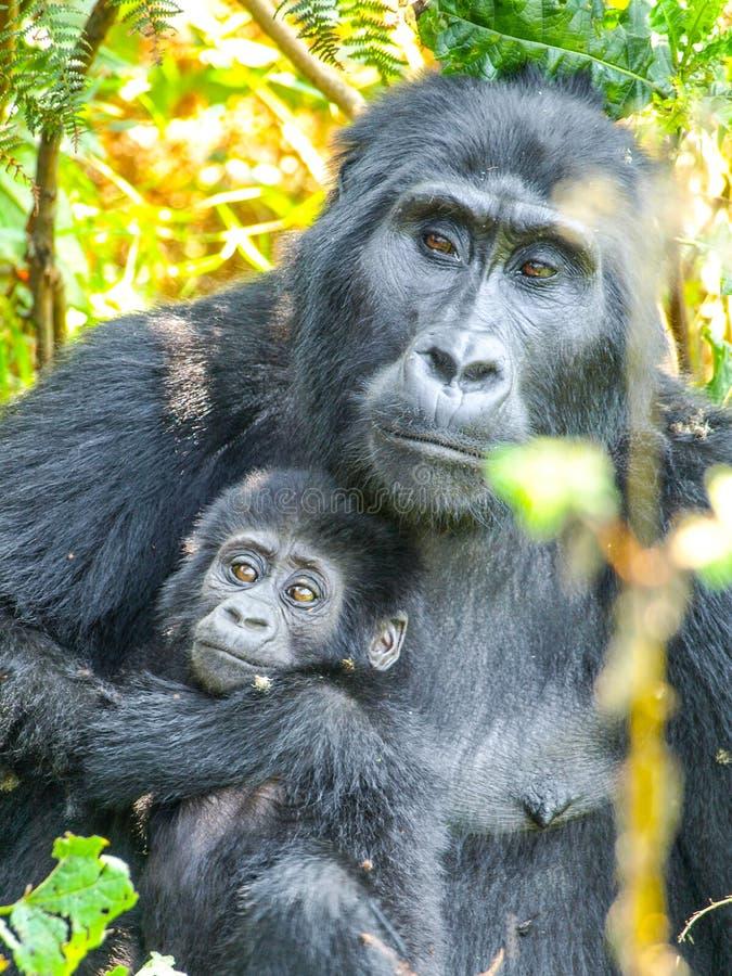 山地大猩猩家庭-有母亲的在森林里,乌干达,非洲婴孩 库存照片