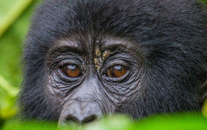 山地大猩猩的画象 乌干达 Bwindi难贯穿的森林国家公园 免版税图库摄影