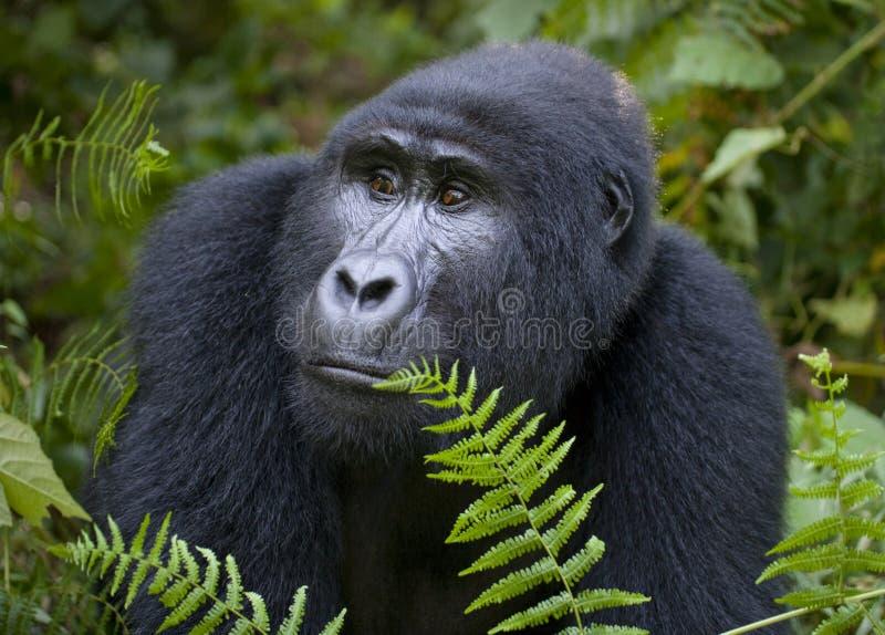 山地大猩猩的画象 乌干达 Bwindi难贯穿的森林国家公园 库存图片