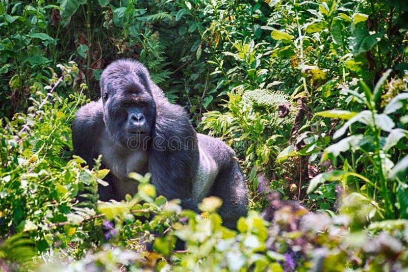 山地大猩猩,火山国家公园,卢旺达 库存照片