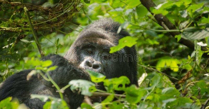 山地大猩猩& x28; 黑Back& x29; 难贯穿的森林,乌干达 图库摄影