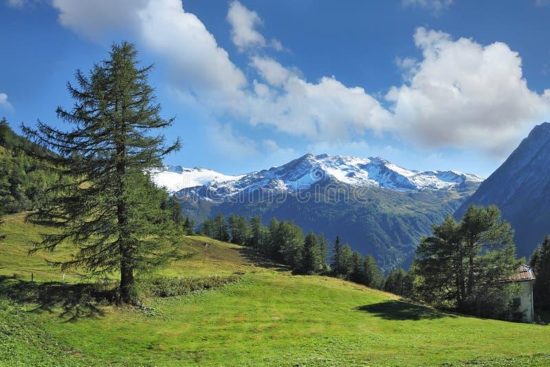 山坡和杉木森林的绿色草甸 免版税库存照片