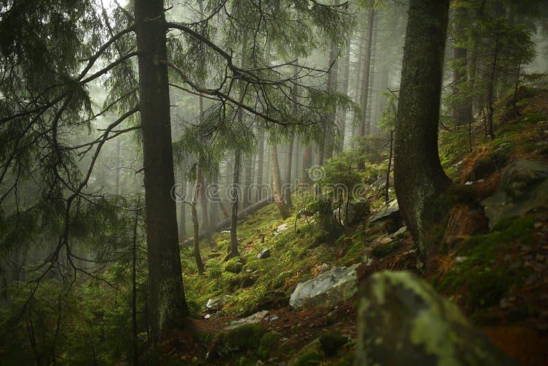 山坡的有薄雾的杉木森林在自然保护 免版税库存照片