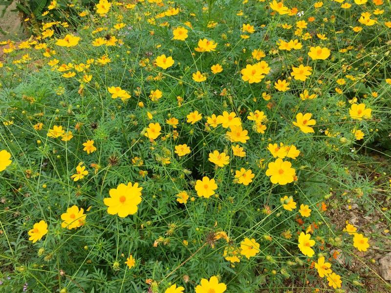 山坡的黄色波斯菊花草甸在南,泰国2018年12月22日 库存照片