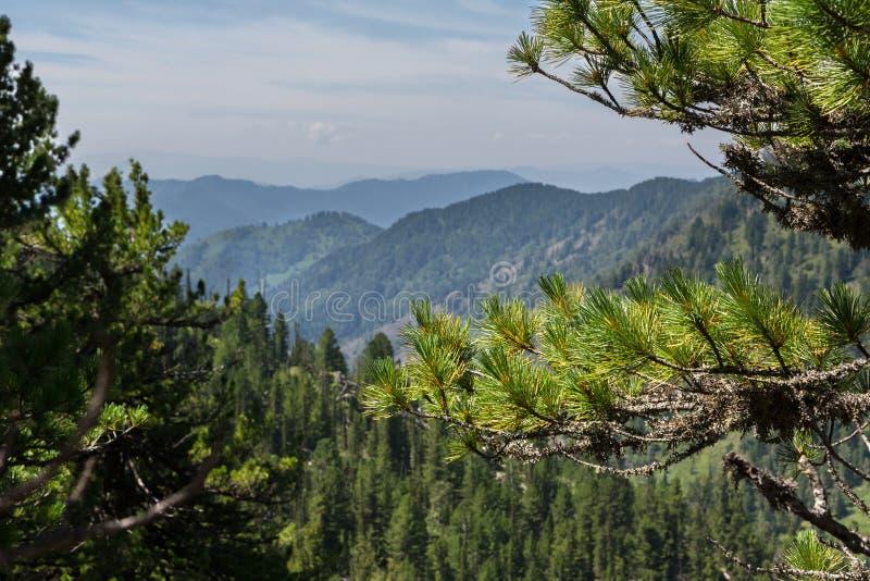 山峰的美丽的景色从杉木森林阿尔泰边疆区的 免版税库存照片