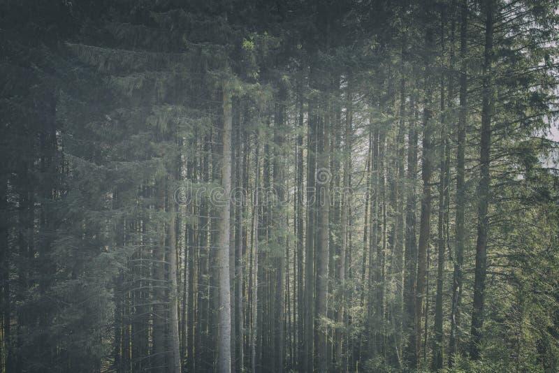 山松树背景 免版税库存照片