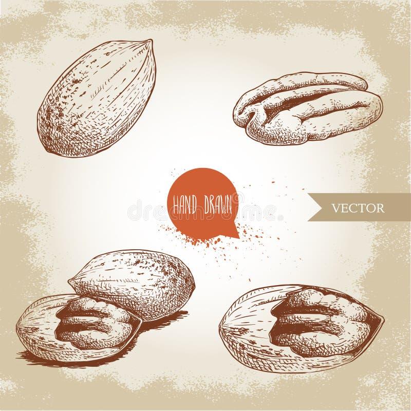 山核桃果集合 被剥皮的核心和整个壳构成 手拉的剪影样式传染媒介收藏 有机异乎寻常的食物illustrati 皇族释放例证