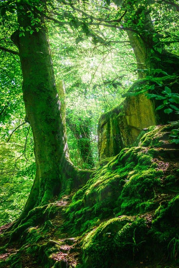 山森林和树与青苔在不可思议的光 免版税库存图片