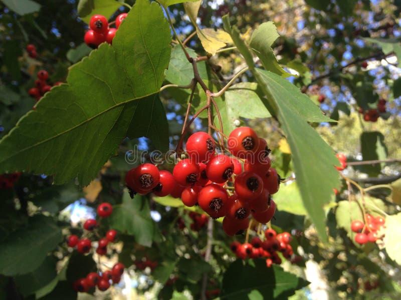 山楂属在秋天的树莓果在中央公园,曼哈顿 图库摄影