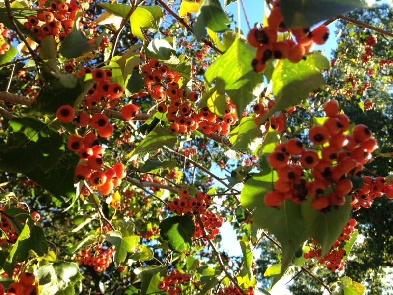 山楂属在秋天的树莓果在中央公园,曼哈顿 免版税图库摄影