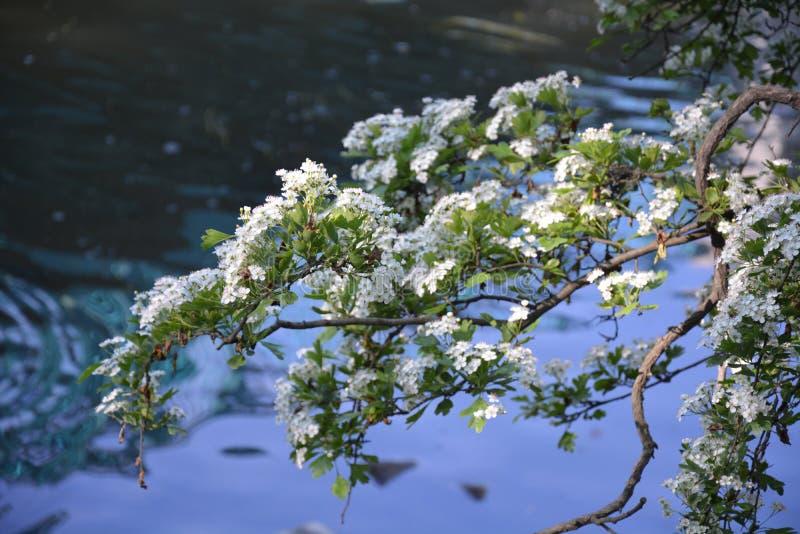 山楂树树分支与白花的在河的背景 库存图片