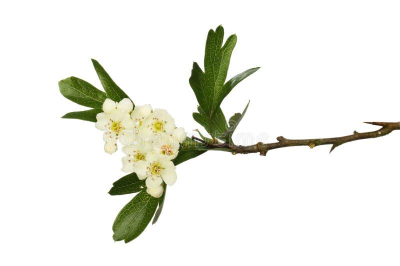 山楂树花和叶子 免版税库存照片